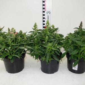 Antirrhinum majus MIX (Experts in Green)