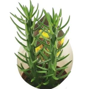 Opuntia subulata