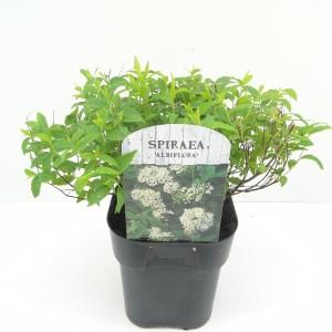 Spiraea japonica 'Albiflora' (Hooftman boomkwekerij)