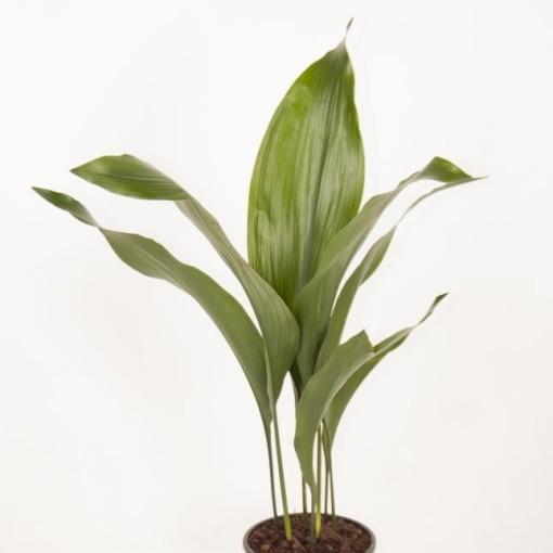 Aspidistra elatior (Ammerlaan, The Green Innovater)