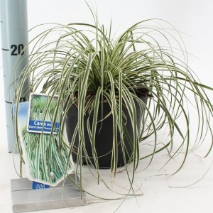 Carex oshimensis EVERCOLOR EVERCREAM (About Plants Zundert BV)