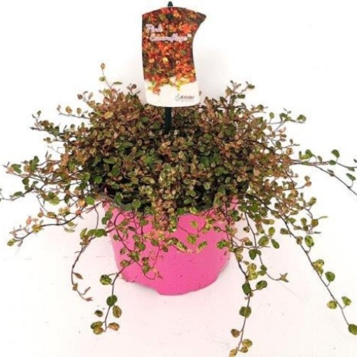 Muehlenbeckia complexa 'Pink Camouflage' (Experts in Green)