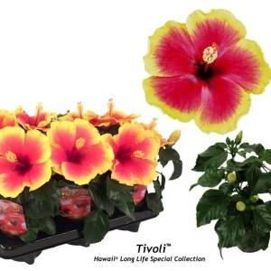 Hibiscus rosa-sinensis 'Tivoli'