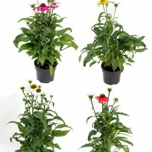 Echinacea purpurea MIX (Gasa DK)