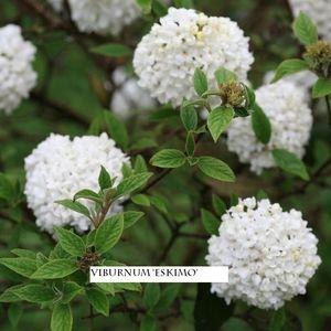 Viburnum 'Eskimo' (About Plants Zundert BV)
