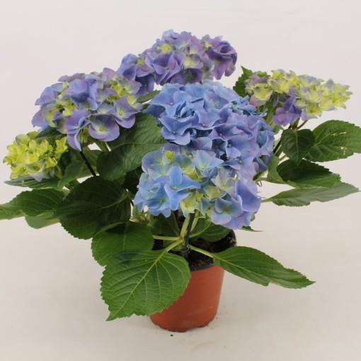 Hydrangea macrophylla EARLY BLUE (Bas van der Wilt)