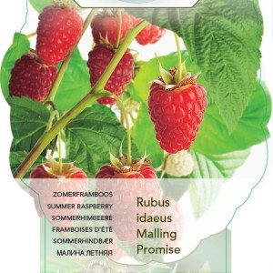 Rubus idaeus 'Malling Promise' (BOGREEN Outdoor Plants)