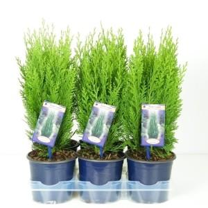 Chamaecyparis lawsoniana 'Green Pillar' (Vredebest, Kwekerij)
