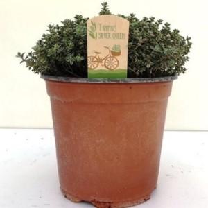 Thymus x citriodorus 'Silver Queen'