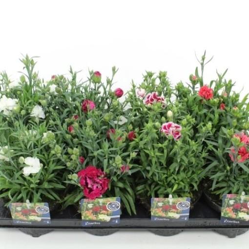 Dianthus caryophyllus MIX (Noordpoel, Kwekerij de)