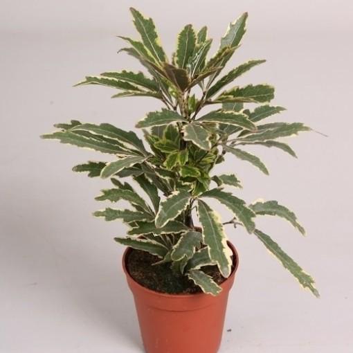 Schefflera elegantissima 'Bianca' (van der Velden, Hkw.)