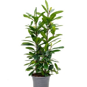 Ficus cyathistipula (Nieuwkoop Europe B.V.)