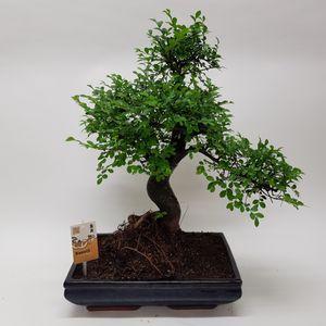 Zelkova serrata (M&M Garden)