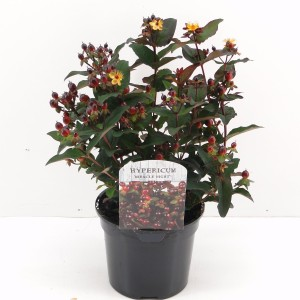 Hypericum MIRACLE NIGHT