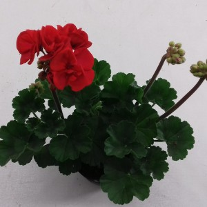 Pelargonium 'Denise'