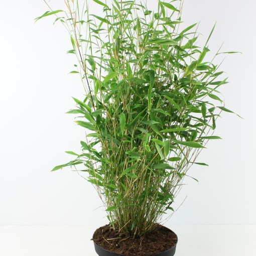 Fargesia MIX (FlorAmor)
