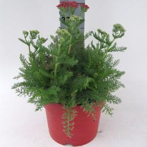 Achillea millefolium DESERT EVE DEEP ROSE (Kwekerij Scholte)
