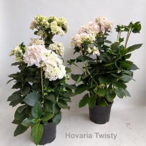 Hydrangea macrophylla HOVARIA TWISTY