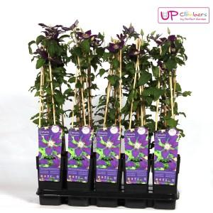 Clematis 'The Vagabond' (Hoogeveen Plants)
