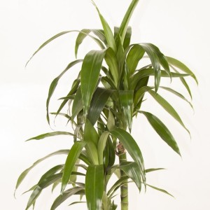 Dracaena fragrans 'Lisa'