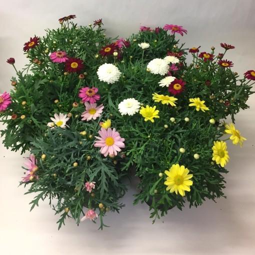 Argyranthemum frutescens MIX (Gasa DK)