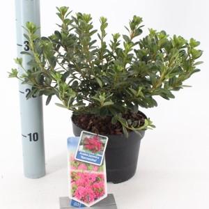 Rhododendron 'Kermesina'