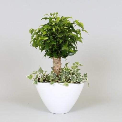 Arrangements Ficus (Groot BV, Kwekerij J. de)