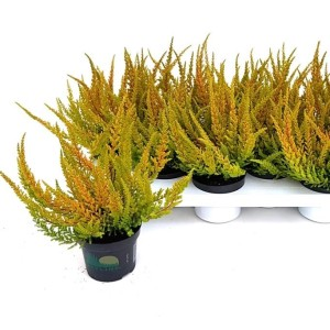 Calluna vulgaris SKYLINE DALLAS