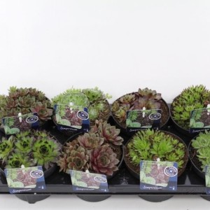 Sempervivum MIX (Noordpoel, Kwekerij de)