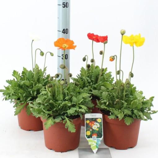 Papaver nudicaule MIX (About Plants Zundert BV)