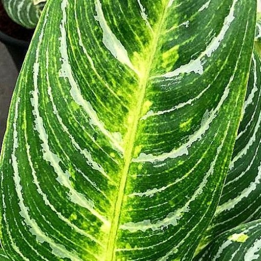 Aglaonema 'Key Lime' (JoGrow B.V.)