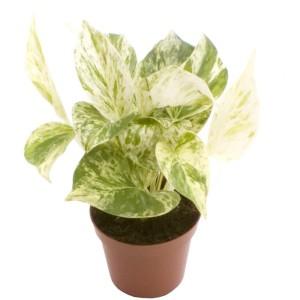 Epipremnum pinnatum 'Marble Queen'
