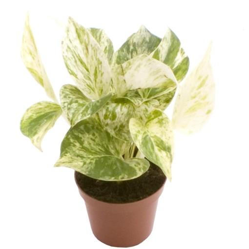 Epipremnum pinnatum 'Marble Queen' (Gasa DK)