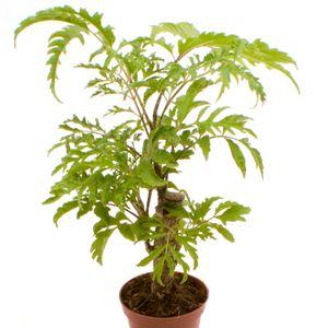 Polyscias filicifolia