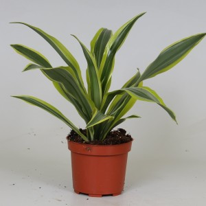 Dracaena fragrans 'Lemon Lime' (Kwekerij J. de Groot BV)