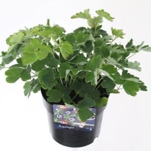 Aquilegia vulgaris 'Winky Double White' (Kwekerij de Noordpoel)