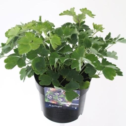 Aquilegia vulgaris 'Winky Double White' (Noordpoel, Kwekerij de)