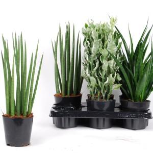 Succulents MIX (Van der Arend Tropical Plantcenter)