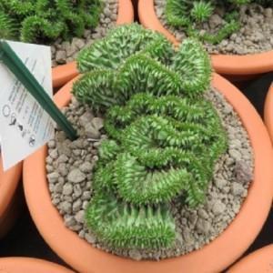 Euphorbia susannae 'Cristata'