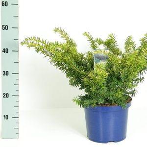 Taxus baccata 'Summergold' (Kwekerij Vredebest)