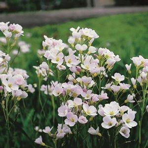 Cardamine pratensis (Moerings Waterplanten)