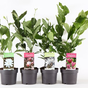 Magnolia MIX (Boomkwekerij Ronald Roos B.V.)