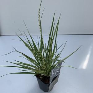 Molinia caerulea 'Variegata' (Cammeraat Potcultuur)