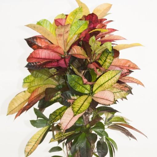 Codiaeum variegatum 'Mrs Iceton' (Ammerlaan, The Green Innovater)