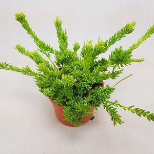 Rhipsalis mesembryanthemoides (Ubink)