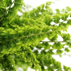 Nephrolepis exaltata 'Green Fantasy'