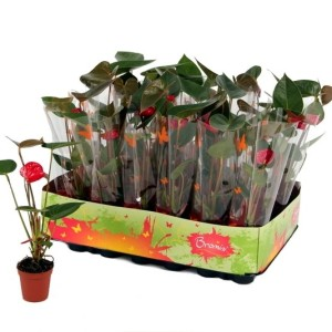 Anthurium 'Ibiza' (Ammerlaan, The Green Innovater)