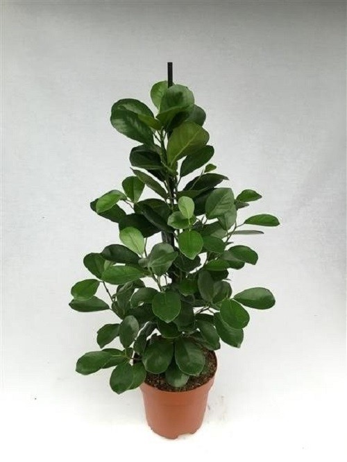 ficus microcarpa 39 moclame 39 p17cm h70cm floraccess wholesale of plants. Black Bedroom Furniture Sets. Home Design Ideas