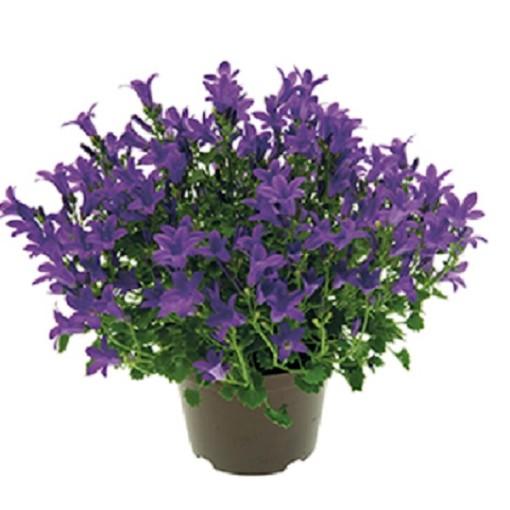 Campanula portenschlagiana BLUE GET MEE (Gasa DK)