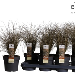 Carex comans 'Bronze Form' (Hoogeveen Plants)